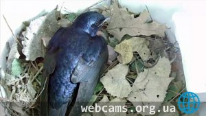 Webcam in the nest of the North American swallow